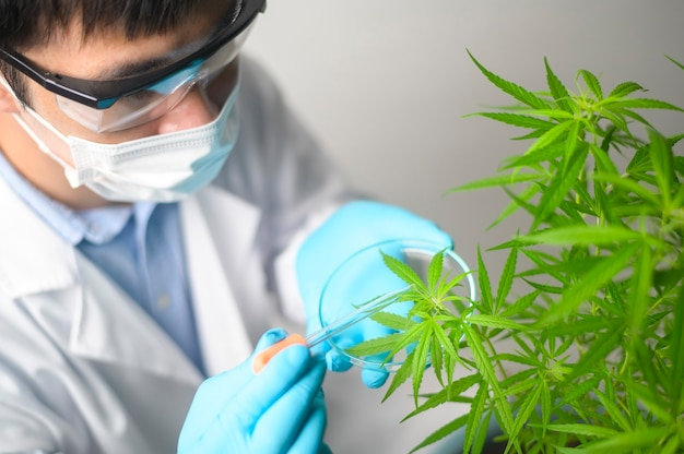 A scientist is checking and analyzing a cannabis sativa experiment , hemp plant  for herbal pharmaceutical cbd oil in a laboratory