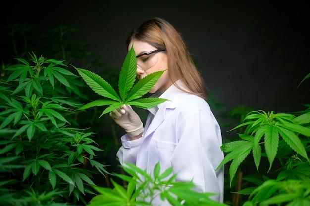 科学者は実験のために大麻の葉をチェックして分析しています、実験室でハーブ医薬品cbdオイルのための麻の植物