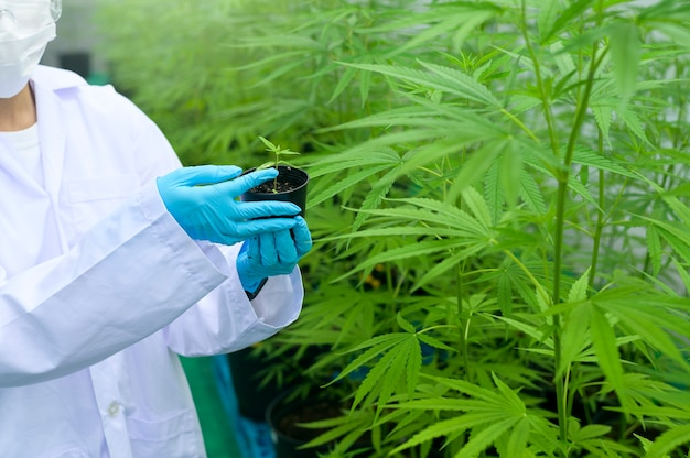 A scientist is holding cannabis seedlings in legalized farm.
