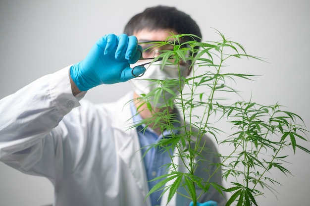 A scientist is trimming cannabis sativa to planning ,  alternative medicine concept