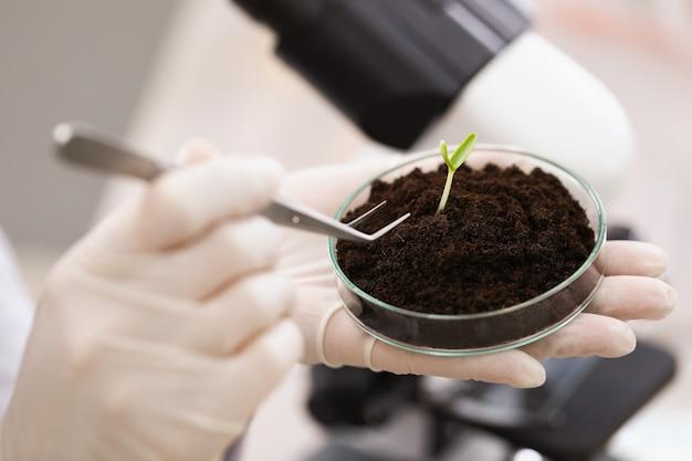 実験室のクローズアップでピンセットでペトリ皿から地面から緑の植物を取る科学者