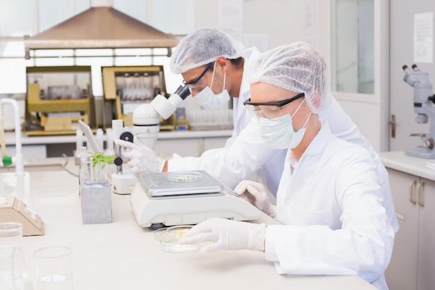 ペトリ皿にトウモロコシを秤量する科学者