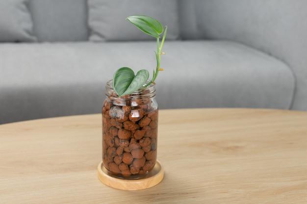リビングルームの木製テーブルの上のガラス瓶のscindapsustreubii月光。観葉植物。空気清浄機(屋内用)。水の伝播