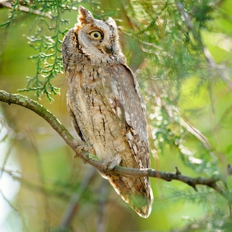 Scops owl sitting in a tree on a beautiful green in nature