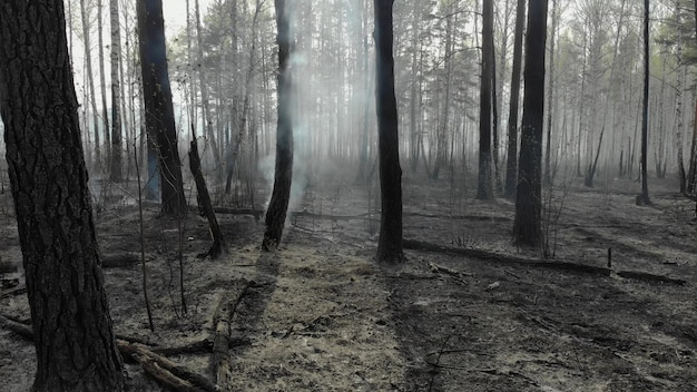 Выжженная земля и стволы деревьев после весеннего пожара в лесу. черное выжженное поле со свежими ростками молодой травы. мертвые посадки с деревьями. чрезвычайный инцидент. последствия лесного пожара