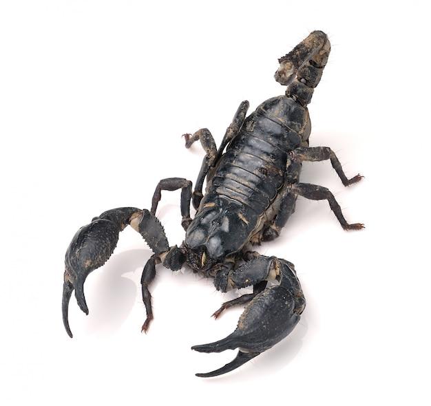 Scorpion pandinus imperator на белом фоне
