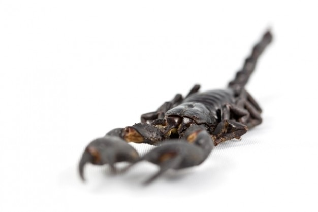 Scorpion with body in focus