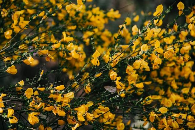 Fiori gialli della scopa scozzese che fioriscono all'aperto
