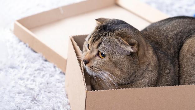 거실 바닥에 골판지 상자에 스카치 접기 고양이.