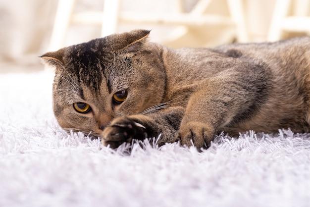 Скотч-фолд-кот в гостиной возле обеденного стола.