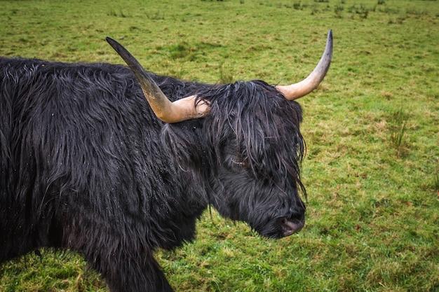 Шотландская черная горная корова