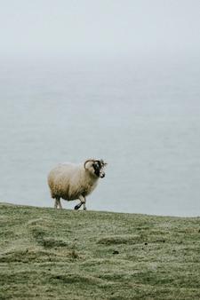스코틀랜드 스카이 섬의 탈리스커 베이에 있는 스코틀랜드 블랙페이스 양