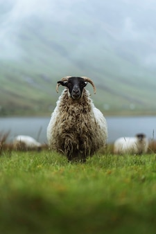 Scottish blackface pecore a talisker bay sull'isola di skye in scozia