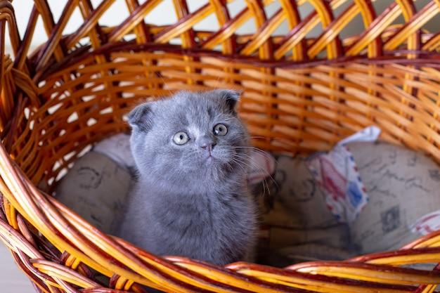 スコットランド(イギリス)の耳の悪い子猫。赤ちゃんのポートレート、かわいいスコティッシュフォールド。一人で大きなバスケットに座っています。色は灰色。クローズアップ、セレクティブフォーカス。