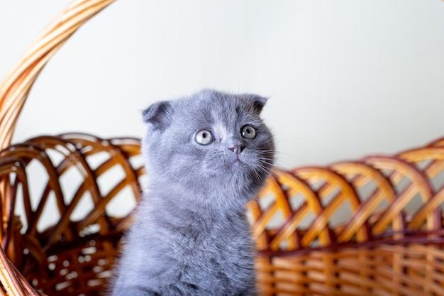 스코틀랜드(영국) 귀가 큰 새끼 고양이. 아기의 초상화, 귀여운 스코티시 폴드. 큰 바구니에 혼자 앉아 있습니다. 색상 회색. 근접, 선택적 초점입니다.