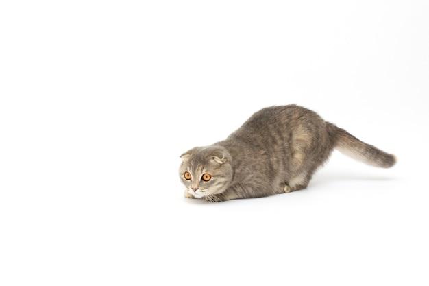 Scottish cat hunts on white background