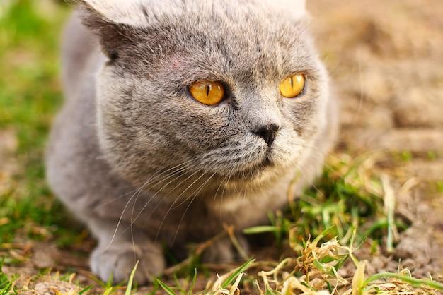 自然の中のスコットランドの猫がクローズアップ
