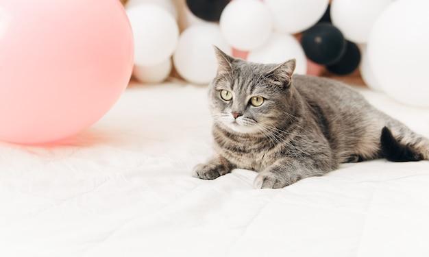 Шотландский кот. довольно стильное фото. белый фон.