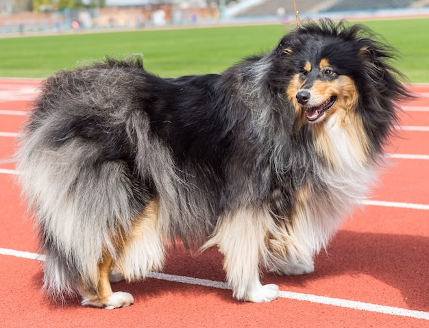Scottish collie outdoors on dog show