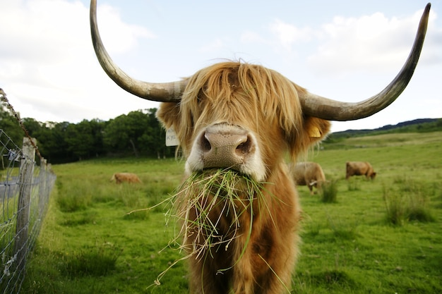 Scottish cow with big horns