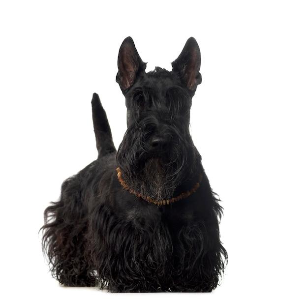 Scottish dog standing