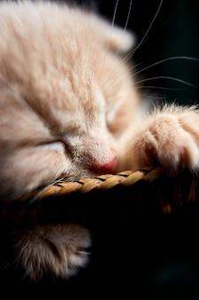 Скоттиш-фолд, британский короткошерстный котенок спит в корзине дома.