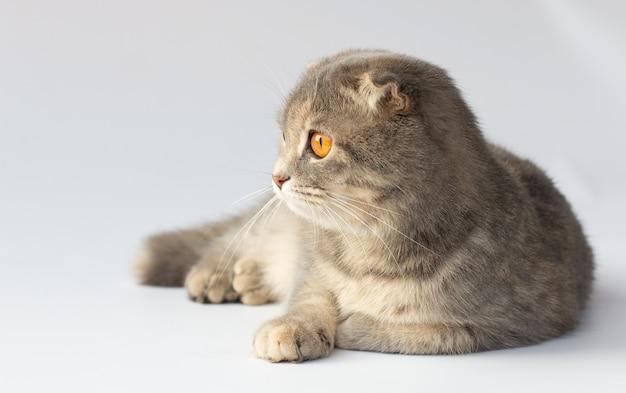 白い背景の前に座って、生後8ヶ月のスコティッシュフォールド猫