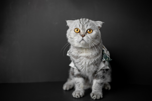 Scottish fold cat are squat on table.