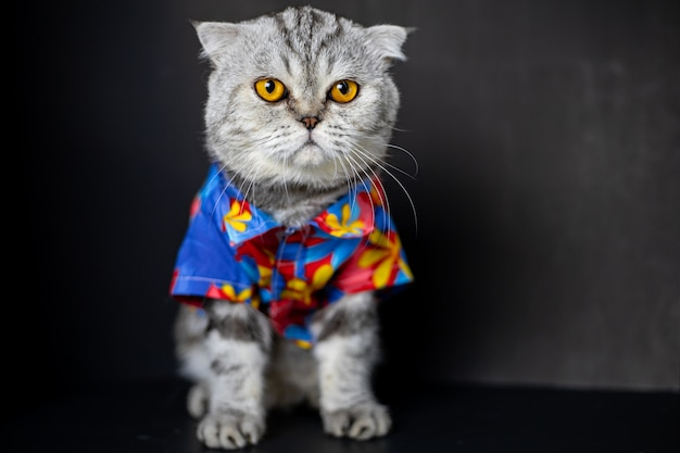 Scottish fold cat are wear floral shirt.