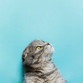 Scottish fold cat on blue surface