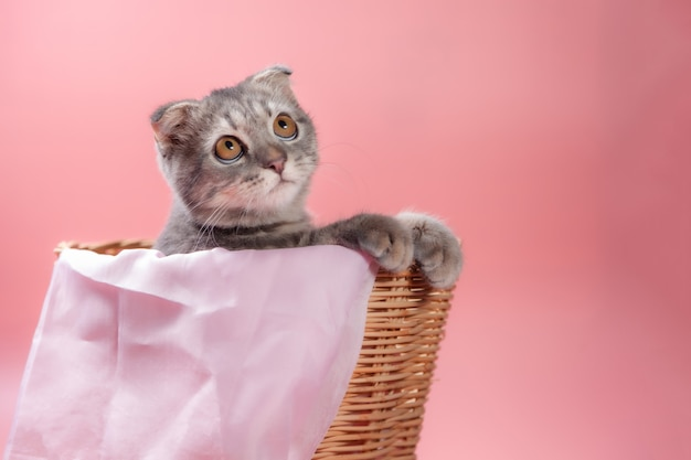 スコティッシュフォールド猫の品種、生後3か月のかご。少しスコティッシュフォールドふわふわのペットの猫かわいい生姜子猫は、幸せで気持ちの良い猫快適な感じです。動物ペットのコンセプトが大好きです。