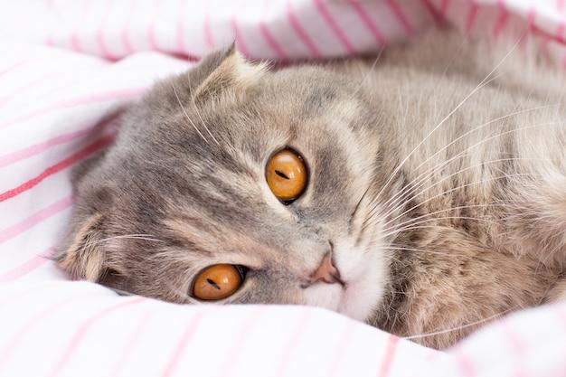 스코티시 폴드 고양이 품종, 3개월. 리틀 스코티시 폴드 고양이 푹신한 애완 동물의 귀여운 생강 새끼 고양이는 행복하고 고양이는 사랑스러운 편안함을 느낍니다. 동물 애완 동물 개념에 대한 사랑.