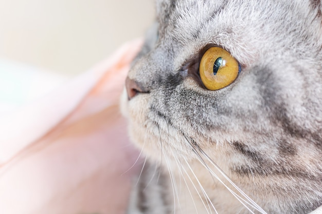 Scottish fold cat gray in black stripes with yellow eyes.