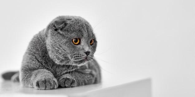 스코틀랜드 배 고양이 흰색 절연