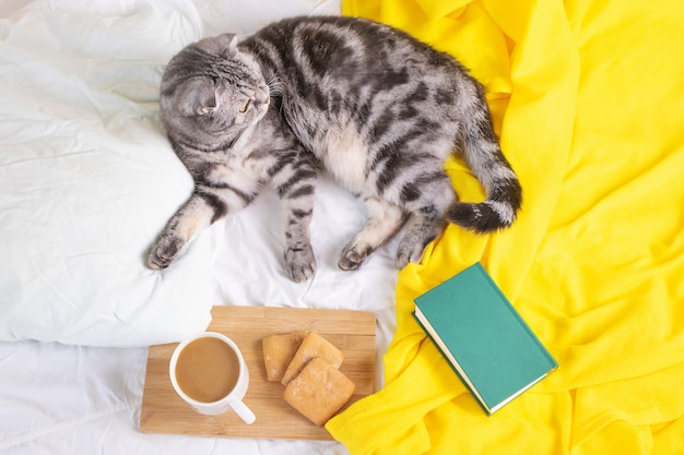 Scottish fold cat lies on a white sheet and yellow plaid