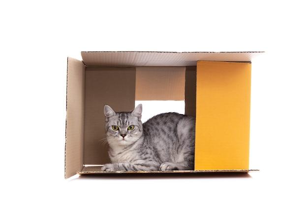 Шотландская вислоухая кошка играет в бумажной коробке одна