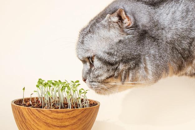 Шотландская вислоухая кошка нюхает проросшие микрогрины. прорастание семян в домашних условиях. концепция зелени для животных. выращивание ростков, супер-пупер.