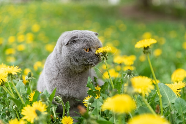Scottish fold cat in spring on a glade of flowering dandelions