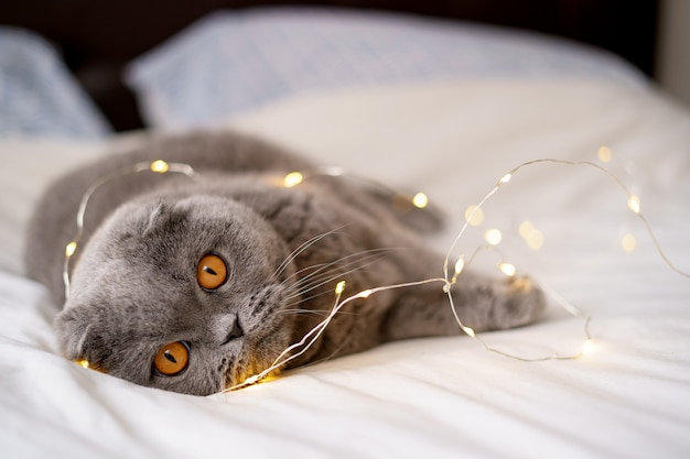 Scottish fold cat surrounded by glowing lights.