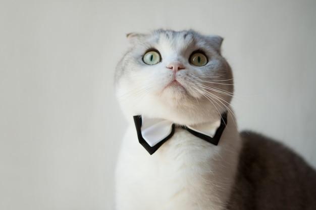 흰색 바탕에 신사로 있는 동안 나비 넥타이를 매고 위를 올려다보는 스코틀랜드 폴드 고양이