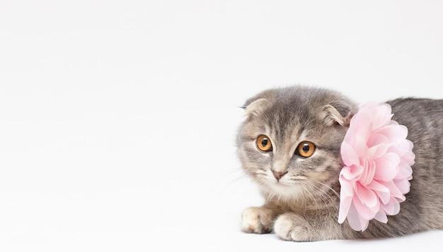 コピースペースのあるスコティッシュフォールド猫