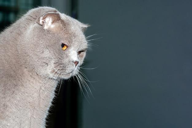 オレンジ色の目を持つスコティッシュフォールド猫