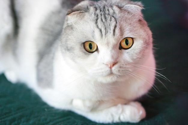 丸い顔のスコティッシュフォールド猫。大きな目で驚いたスコティッシュフォールドのオスの猫の肖像画。猫の黄色い目。