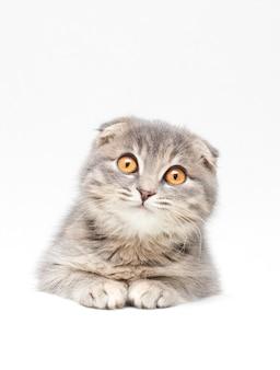 スコティッシュフォールド猫