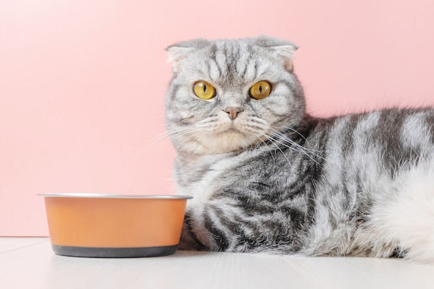 スコティッシュフォールドの灰色の猫はボウルから乾物を食べる