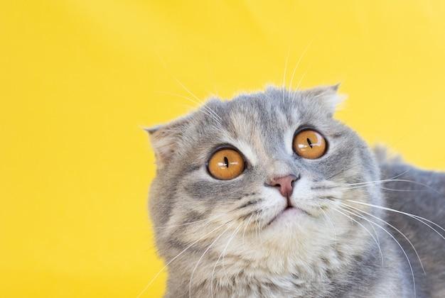 スコティッシュフォールドの灰色の猫。大きな黄色い目でスタジオショットを見下ろします。黄色の背景に