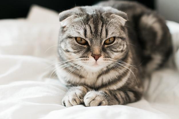 침대에 스코틀랜드 배 회색 고양이