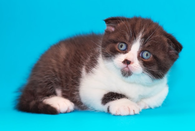 Котенок скоттиш-фолд. котенок с голубыми глазами на синем фоне.