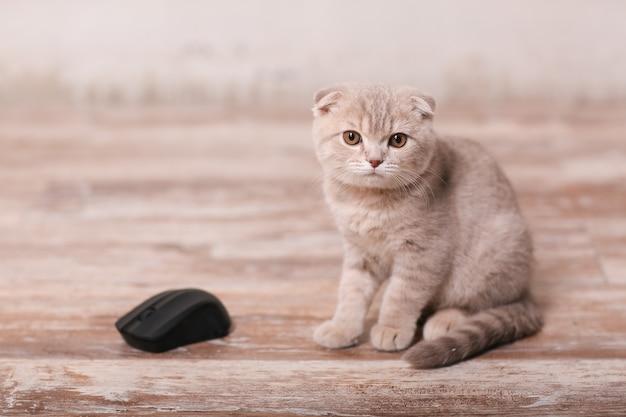 Шотландский вислоухий котенок на бежевой стене