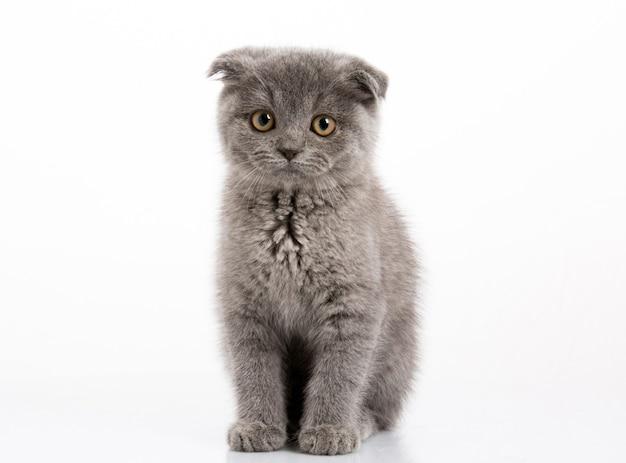 Скоттиш-фолд котенок крупным планом
